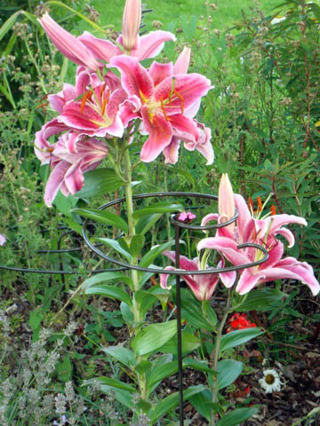 Herbaceous Borders Plant Supports