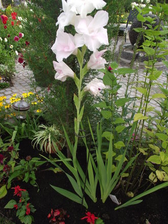 Loop pack of 4 - 6cm x 112cm A0084: Supporting a tall Gladioli