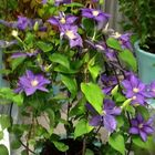 Small Clematis �Bud� frame BUD01