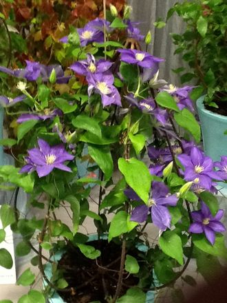 Clematis 'bud' Obelisk BUD01: Planted by www.floydsclimbers.co.uk using a Rustic 'bud'